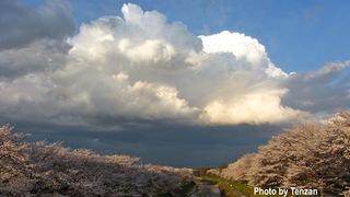 嵐前の桜.jpg